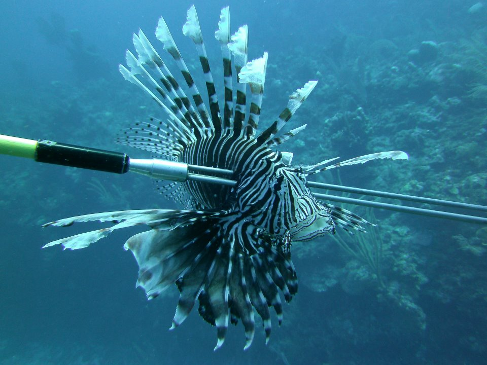 Lionfish Spearing